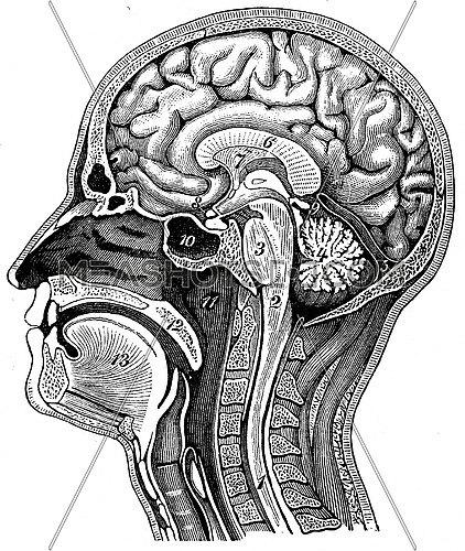 Longitudinal section of the human head, vintage engraved illustration. La Vie dans la nature, 1890.