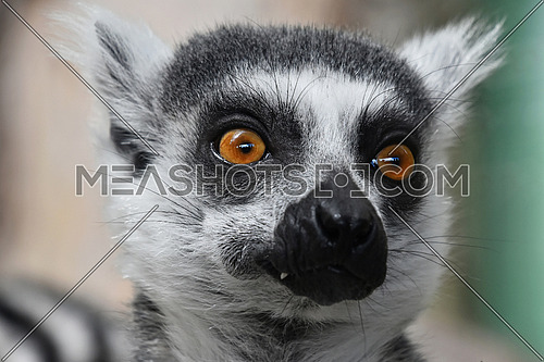 Close up portrait of one cute ring-tailed lemur (aka lemur catta, maky or Madagascar cat) in zoo, looking at camera