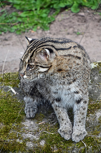 Portrait of fishing cat (Prionailurus viverrinus) on the ground, looking away, high angle view