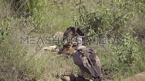 Scene of a White Backed Vulture approaching a dead impala killed by wild dogs