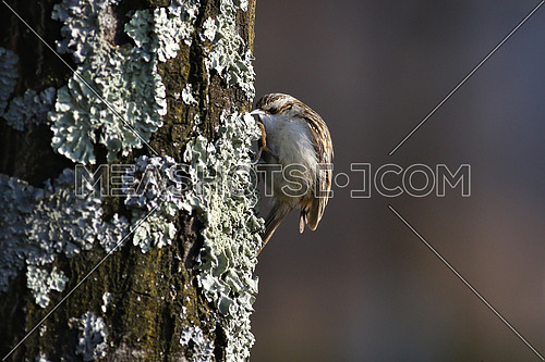Tree creeper, CerthiaFamiliaris, climbing on a tree trunk feeding on insects