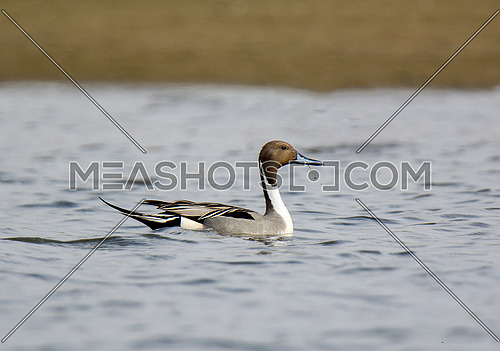 Pintail Duck swimming in calm waters