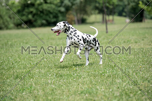 A young beautiful Dalmatian dog running on the grass