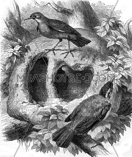 Rufous and its nest, vintage engraved illustration. Magasin Pittoresque 1870.