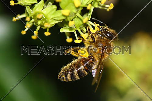 Bee on ivy flower