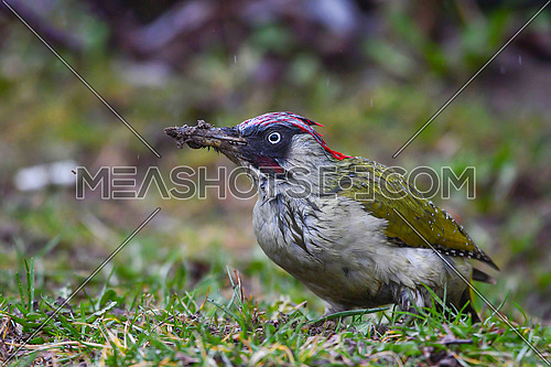 Close up of European green woodpecker (Picus viridis) in rainy day