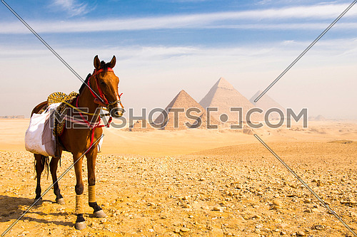 Arabian horse with Egyptian pyramids in background