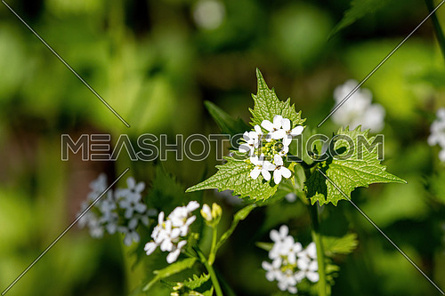 Macro closeup of medicative herb blossom Garlic mustard (Alliaria petiolata)