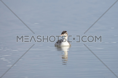 The Great Crested Grebe is a medium to large aquatic bird, and is the largest of the grebes.