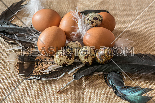 Chicken and quail eggs on feathers