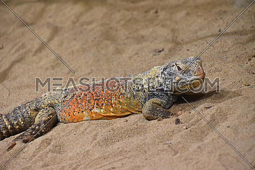 Close up profile portrait of Chinese crocodile lizard (Shinisaurus crocodilurus) in sand, looking at camera, high angle view