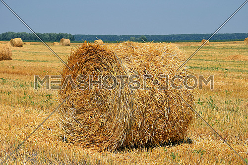 Yellow golden bales of hay straw in stubble field after harvesting season in agriculture, close up