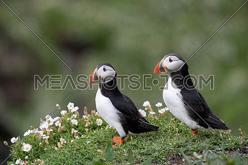 Atlantic Puffin (Fratercula arctica), on cliff's edge at Isle of May, Scotland.