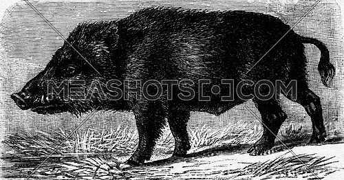 Boar, vintage engraved illustration. La Vie dans la nature, 1890.