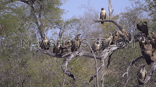 View of a tawny hawk and vultures resting on branches