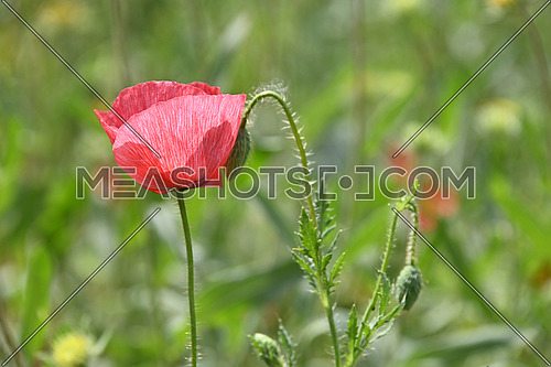 Close up pink poppy flowers in green field, low angle side view