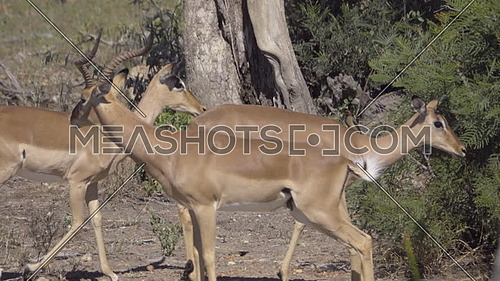 View of an Impala ram smelling female