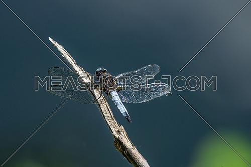 A close up of a scarce chaser dragonfly (Libellula fulva) from the side with wings outstretched