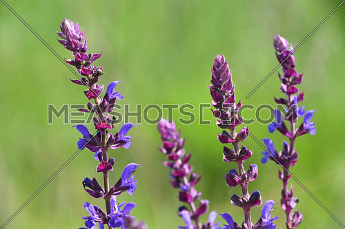 Purple sage salvia flowers with ants over green summer meadow background, close up