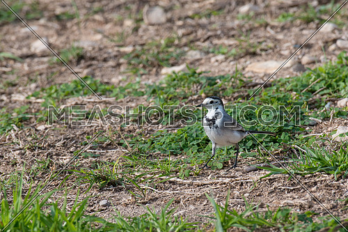White wagtail, bird.The wagtails form the passerine bird genus Motacilla.