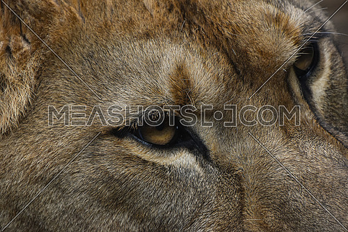 Extreme close up profile portrait of female African lioness looking away, high angle, side view