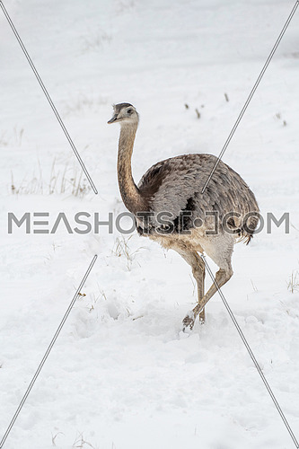 Common Emu (Dromaius novaehollandiae) is the second-largest living bird by height, after its ratite relative, the ostrich