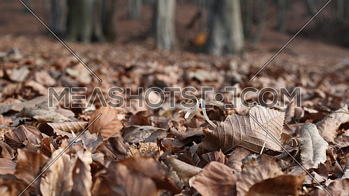 Beech tree forest in the winter with focus on the leaves in the foreground
