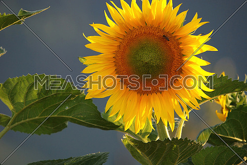 sunflower at sunny day   (NIKON D80; 6.7.2007; 1/160 at f/6.3; ISO 200; white balance: Auto; focal length: 370 mm)