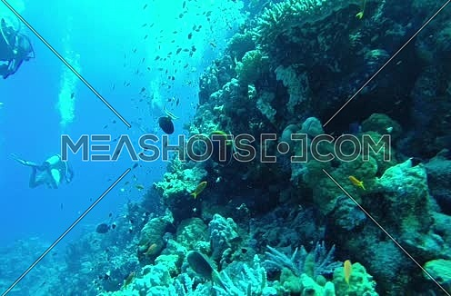 Follow shot for scuba divers and big group of fishes underwater at The Red Sea