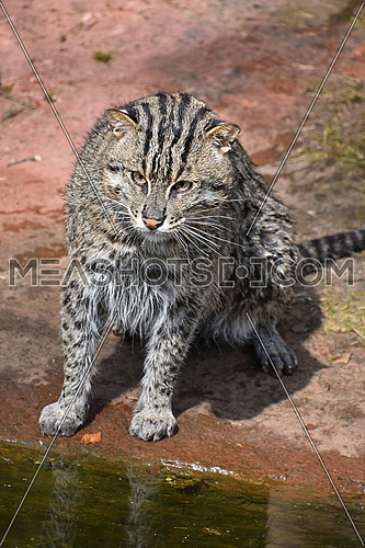 Portrait of wet fishing cat (Prionailurus viverrinus) sitting near water after hunt and looking at camera, high angle view