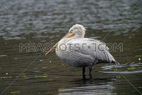 Dalmatian pelican (Pelecanus crispus) shot at  Kastoria, Greece. Wildlife in natural habitat