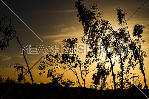 Trees captures during sun set in a silhouette view by sun set