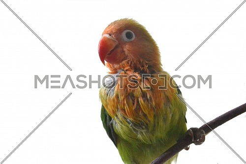 Close Up Of Lovebird With Orange And Green Feather Combination With Isolated Background