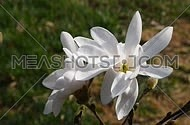 Two white magnolia flowers and new buds tremble in the wind over background green grass, top view, close up, Full HD 1080