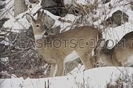 Various shots of deer foraging in the winter.