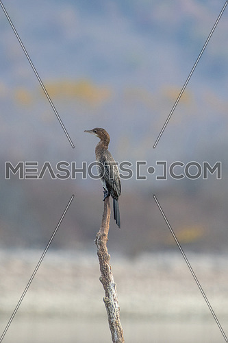 Pygmy Cormorant (Phalacrocorax pygmeus) sitting on a branch
