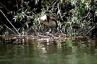 Great crested grebe,Podiceps Cristatus, sitting on eggs in the floating nest while adjusting and fixing it