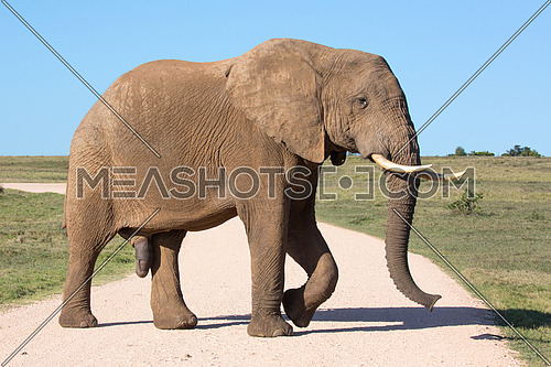 African Elephant Male with large tusks