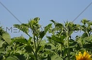 Green young fresh new sunflower buttons and buds in the field over clear blue sky, low angle view