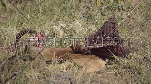 View of Impala rib cage meat carcas killed by Wild Dogs