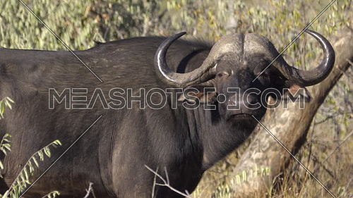 View of a Cape Buffalo walking away