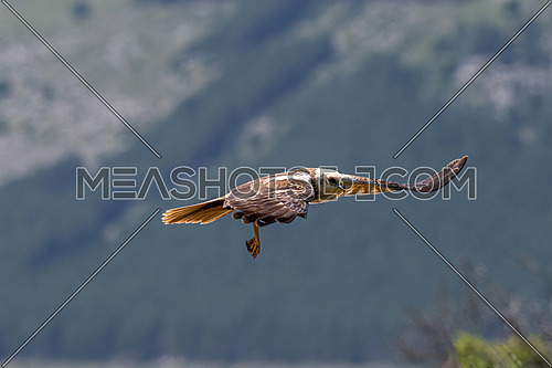 Marsh Harrier in flight (Circus Aeruginosus) Wildlife animal
