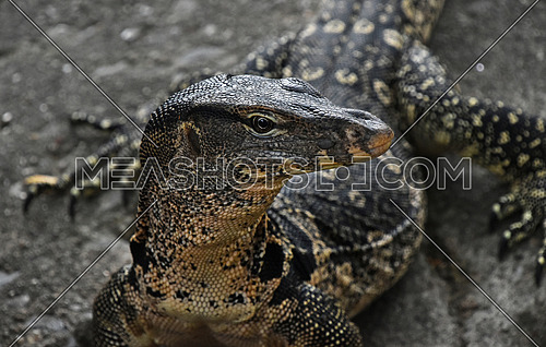 Asian giant water monitor goanna varan close up portrait