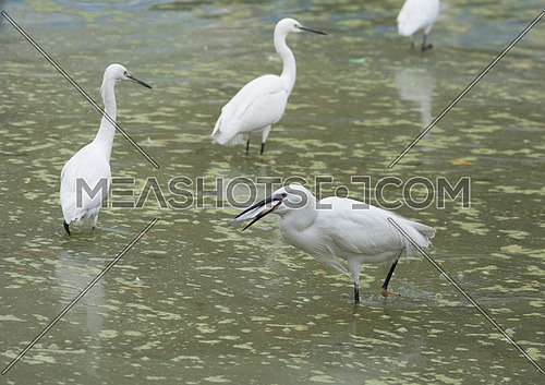 A group of Little Egret birds in the water