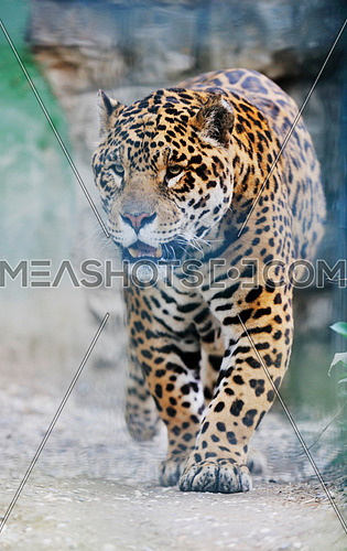 big wild cat animal in zoo