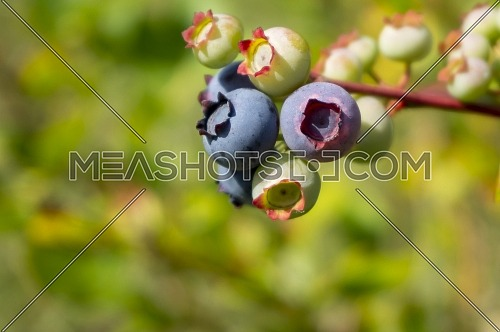 Ripening blueberrys in a cluster on a bush outdoors in summer sunshine in close up with copyspace
