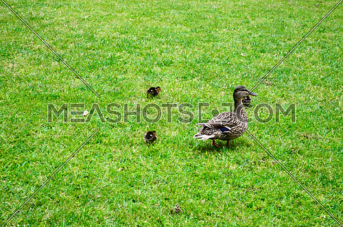 mama duck is walking on grass with her baby ducks