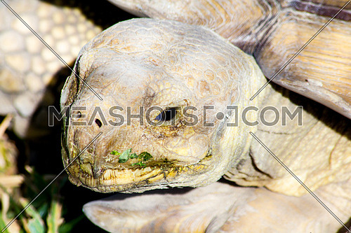 A turtle eating grass