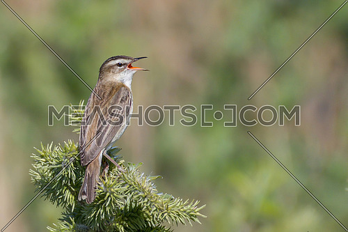 Sedge warbler (Acrocephalus schoenobaenus) on reed in summer