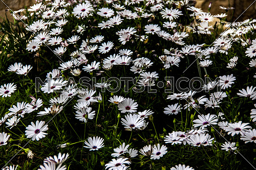 a close up for some white flowers in a garden in Egypt